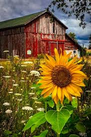 barn with sunflower
